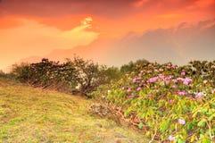 Allungamento delle piante di Rhododentdon Immagine Stock