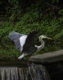 Allungamento delle sue ali Fotografia Stock