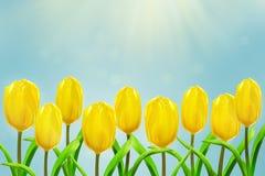 Allungamento giallo dei tulipani ai raggi del sole Fotografia Stock Libera da Diritti