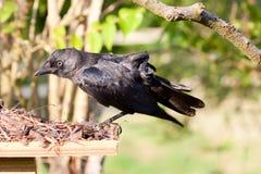 Allungamento giovanile del corvo di Carrion Fotografia Stock