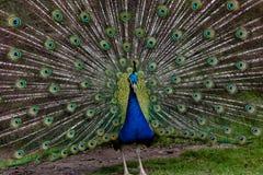 Allungamento indiano del pavone Fotografia Stock Libera da Diritti
