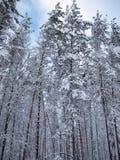 Allungando nei tronchi innevati del cielo degli abeti e del pino rosso della foresta di inverno Fotografia Stock