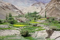 Alluni in Ladakh, India Immagine Stock Libera da Diritti