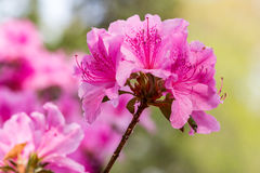 Allure Azaleas. Beautiful pink Allure azaleas courtesy of another Glenn Dale Hybrid.  This one bouquet stands apart from the group in sharp focus Royalty Free Stock Images