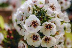 Alluring Alyssum  Could the meaning of a name, in the language of flowers, be more incredible than that of sweet alyssum, meaning royalty free stock images