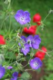 Summer flower garden with hardy geranium and red rose. The alluring blue blossoms of this `Orion` hardy geranium complement those of a fiery red rose in the Stock Photo