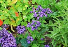 Allusum fiorisce il colore blu si rallegra l'estate Allusum fiorisce blu su un fondo verde isolato immagine stock