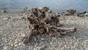 Alluvial, épave et jet à la mer, tronc, bois avec des trous passés sur la plage Gravedona, lac Como image stock