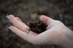 Alluvial Sea urchin Royalty Free Stock Image