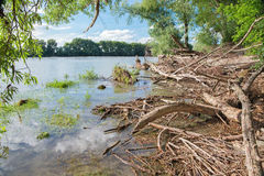 Alluvial wood on the waterfront of Danube in National park Donau-Auen Royalty Free Stock Photos