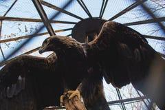 Allvarlig örn bak det netto i zoo Royaltyfria Bilder