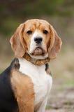 Allvarlig beaglehund Fotografering för Bildbyråer
