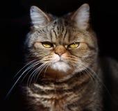Allvarlig brittisk katt på en svart bakgrund royaltyfri bild