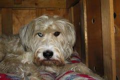 Allvarlig byrackahund med heterochromia observera dig uppmärksamt arkivbild