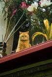 Allvarlig gul katt som ser från fönstret Royaltyfri Fotografi