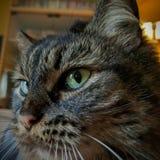 Allvarlig katt Royaltyfria Bilder