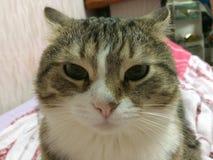 Allvarlig katt, hemhusdjur, katt arkivfoto