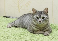 Allvarlig katt, hemmastadd katt, stolt katt, rolig katt, grå katt, tamdjur, grå allvarlig katt i oskarp bakgrund, fet katt Fotografering för Bildbyråer
