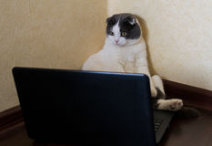 Allvarlig katt som framme sitter av bärbara datorn och stirranden på bildskärmen Royaltyfri Fotografi