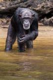 Allvarlig schimpans Arkivfoto