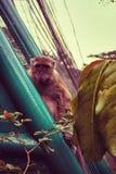 Allvarlig stirrande från en apa arkivfoton