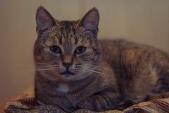 Allvarliga ögon för katt` s Övre grå katt för slut Royaltyfri Fotografi