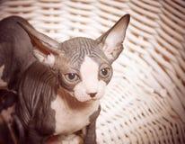 Allvarliga Gray Little Sphynx som ser kameran Royaltyfri Foto