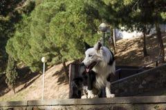 Allvarligt border collie värde på stenväggen i parkera Royaltyfri Foto