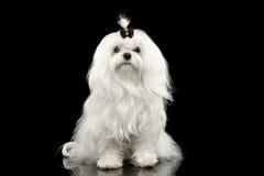 Allvarligt vitt sammanträde för maltesisk hund som in camera ser isolerat svart royaltyfria foton