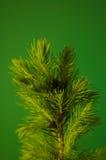 Almácigo creciente de la conífera en el fondo verde Fotografía de archivo libre de regalías
