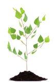 Almácigo creciente del árbol de abedul en la pila del suelo aislada en blanco Fotografía de archivo libre de regalías