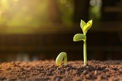 Almácigo creciente del árbol de la planta en suelo Fotografía de archivo libre de regalías