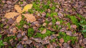 Almácigo de Autumn Fallen Leaves y del roble en musgo verde foto de archivo libre de regalías