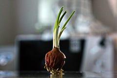 Almácigo de la cebolla Imagen de archivo