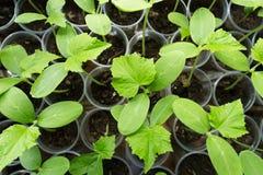 Almácigo de la planta de los pepinos Fotografía de archivo libre de regalías