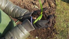 Almácigo de la tenencia del jardinero de la mujer con el suelo en manos almacen de metraje de vídeo