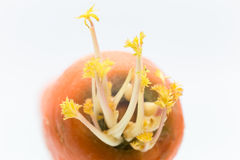 Almácigo de las zanahorias Imagen de archivo