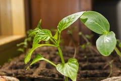 Almácigo de una planta del dicot y de un arbusto joven de la paprika en potes de una turba en un alféizar Imagen de archivo libre de regalías