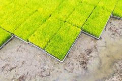 Almácigo del arroz Imagen de archivo libre de regalías