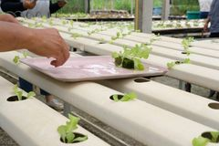 almácigo del brote vegetal hidropónico en cuarto de niños de la planta Granjero imagen de archivo