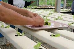almácigo del brote vegetal hidropónico en cuarto de niños de la planta Granjero foto de archivo