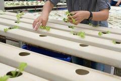 almácigo del brote vegetal hidropónico en cuarto de niños de la planta Granjero imagenes de archivo