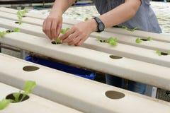 almácigo del brote vegetal hidropónico en cuarto de niños de la planta Granjero imágenes de archivo libres de regalías