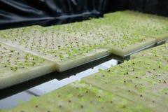almácigo del brote vegetal hidropónico en esponja mojada en la planta n imagenes de archivo