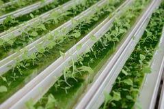 almácigo del brote vegetal hidropónico en esponja mojada en la planta n imagen de archivo libre de regalías