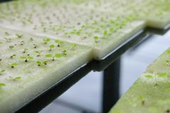almácigo del brote vegetal hidropónico en esponja mojada en la planta n foto de archivo