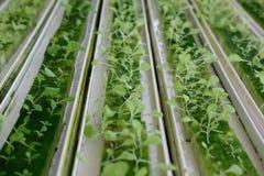 almácigo del brote vegetal hidropónico en esponja mojada en la planta n imagen de archivo