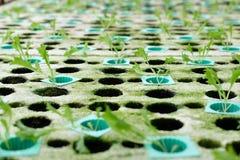 almácigo del brote vegetal hidropónico en espuma en cuarto de niños de la planta imagen de archivo