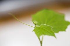 Almácigo del pepino Imagen de archivo libre de regalías
