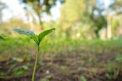 Almácigo fresco del primer pequeño que crece en la tierra imagen de archivo